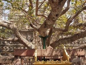 Bodhi Tree of Mahabodhi Temple