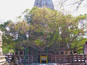 Mahabodhi Temple Bodhi Tree